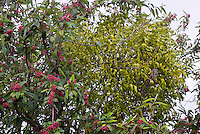Viscum album mistletoe in tree with Cotoneaster frigidus 'Cornubia' Cornubia