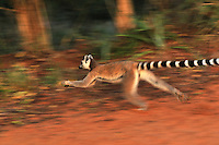 Ring-tailed Lemur running (Lemur catta), Berenty Private Reserve, Madagascar