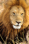 Africa, Kenya, Maasai Mara. Adult male lion.