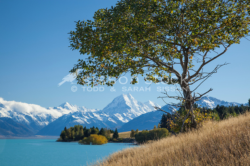 Wild apple tree - Lake Pukaki. Mt Cook & fall colour in background.  Mackenzie basin, South Canterbury New Zealand.