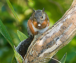Variegated squirrel, Sciurus variegatoides, eating a piece of fruit in the gardens of the Hotel Bougainvillea, San Jose, Costa Rica