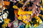 The frogfish changes its color to match its environment, increasing hunting effectiveness.  New Britain, Papua New Guinea.
