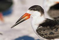 Black Skimmer, Rynchops niger, adult close up, Fort Meyers, Florida, USA