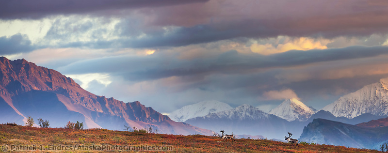 Panorama of bull caribou on a mountain ridge with clouds obscuring the snow covered Alaska range mountains, Denali National Park.