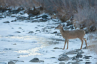 Whitetail doe by frozen stream in Wyoming
