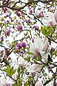 Magnolia in flower (cultivar unknown), mid April.
