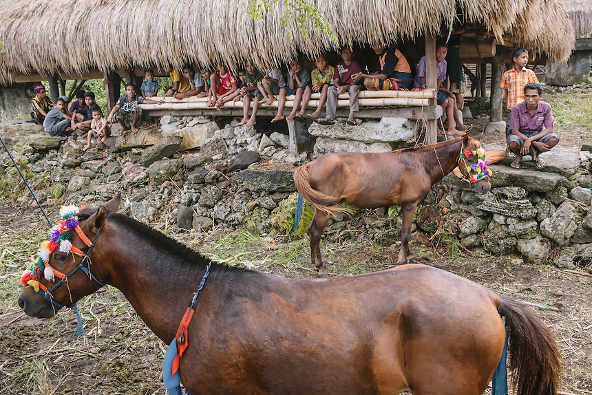 Two Pasola horses ready for the event in Wainyapu, Kodi. Pasola is an ancient tradition from the Indonesian island of Sumba. Categorized as both extreme traditional sport and ritual, Pasola is an annual mock horse warfare performed in response to the harvesting season. In the battelfield, the Pasola warriors use blunt spears as their weapon. However, fatal accident still do occurs.