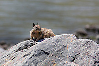 Ready to scamper away at a moment's notice, a California Ground Squirrel watches passersby from its perch on a rock along the shores of San Francisco Bay.