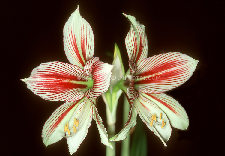 Red and white striped flowers of bulb Hippeastrum papilio (Amaryllis species)