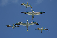 Northern Gannets in flight, Scotland, UK.