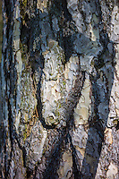 Tree bark of conifer in the Cotswolds, Oxfordshire, UK
