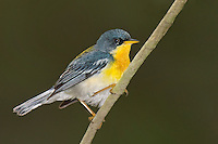 561010007 tropical parula setophaga pitiayumi  - was parula pitiayumi - wild texas .male perched on branch.Kenedy County, Texas