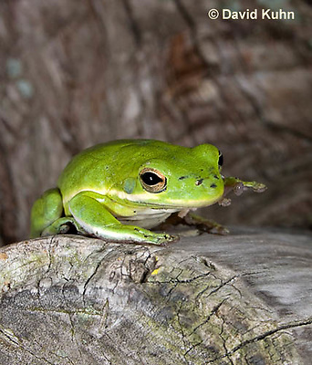 0605-0906  American Green Treefrog Climbing Tree at Outer Banks North Carolina, Hyla cinerea  © David Kuhn/Dwight Kuhn Photography