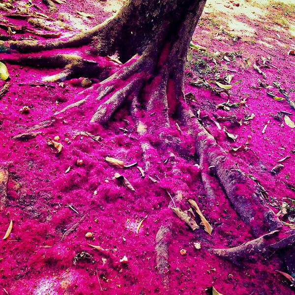 A pink carpet of fallen blossom petals is seen bellow the water apple tree (manzana de agua) in the jungle of Darién, Panama, 28 January 2015.