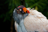 Head of King Vulture  (Sarcoramphus papa). Captivity