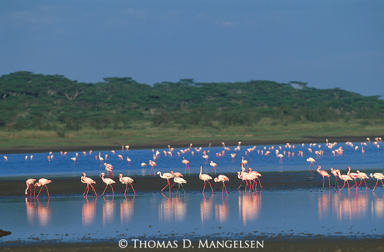Lesser Flamingos in Lake Ndutu.