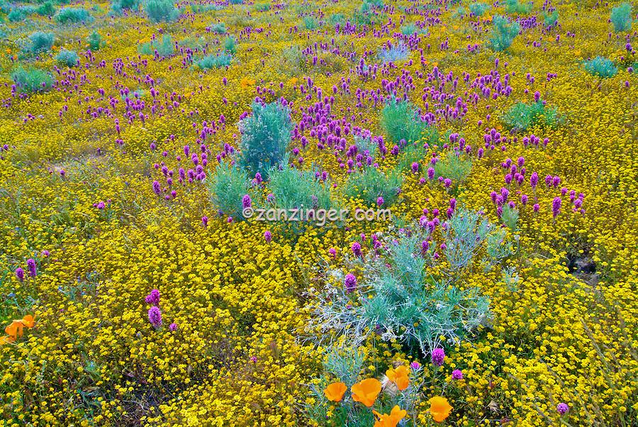 spring wildflowers in antelope - photo #29