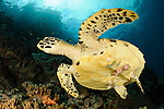 Close up view of the underside of a Hawksbill turtle, complete with barnacles, on a reef in Raja Ampat, West Papua, Indonesia