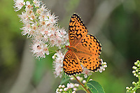 &quot;Fritillary Butterfly&quot;<br />