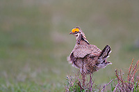 572110180 a wild male  lesser prairie chicken tympanuchus pallidicinctus an endangered species at a lek on a ranch near canadian texas united states