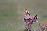 572110180 a wild male  lesser prairie chicken tympanuchus pallidicinctus an endangered species at a lek on a ranch near canadian texas united states