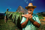 """Cuba, March 1992: Following the harvest , the tobacco is carried on the """"cujes"""" near Vignales in Cuba. It will be stored in the Casa de Tobaco, a rare traditional tobacco drying house where it will begin to dry and ferment."""