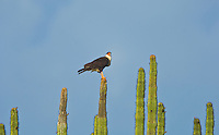 A Crested Caracara (Caracara cheriway) perched on an Organ Pipe Cactus (Stenocereus thurberi), Sonora, Mexico