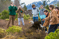 Recovered bald eagle is released back into the wild at the Alaska Raptor Rehabilitation center in Sitka, Alaska.