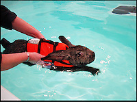BNPS.co.uk (01202 558833).Pic: AmandaWilliams/BNPS..Whats Up Doc.....Heidi the pet rabbit is having swimming sessions to cure her arthritis - and has to wear a lifejacket to make sure it isn't a case of 'Watership Drown'...Owner Amanda Williams was recommended by a vet to give the elderly continental giant rabbit hydrotherapy to treat the animals aching hips...Staff strap an adjustable vest designed for small dogs to the four-year-old rabbit and use a hair bobble to pin back her long ears to prevent water getting in them...Heidi is then placed in a heated pool where she spends 45 minutes doggy-paddling up and down...And the seven sessions the 3ft 2ins long rabbit has had so far have already helped to ease the big-eared pet's pain.