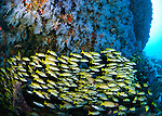 The bluestripe snapper, Lutjanus kasmira, Angelfish, lush soft corals typical of Maldives reef