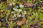 Small lupine (Lupinis sp.) and pine cones on forest floor, Toiyabe National Forest, California