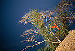 Scarlet macaws, green-winged macaws &amp; blue-headed parrots, Tambopata River region, Peru