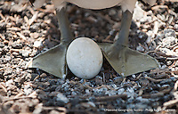A Nazca Booby stands guard over her egg.