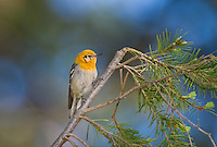 592190002 a wild male olive warbler peucedramus taeniatus perches in a douglas firtree on mount lemmon tucson arizona united states