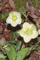 Helleborus x ericsmithii Gold Collection 'Winter's Bliss'