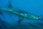 Whitetip reef shark (Triaenodon obesus).