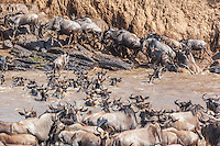 Mara river crossing during the annual wildebeest migration where the herds bottleneck as they brave the crocodiles lying in wait, Masai Mara National Reserve, Kenya, Africa (photo by Wildlife Photographer Matt Considine)