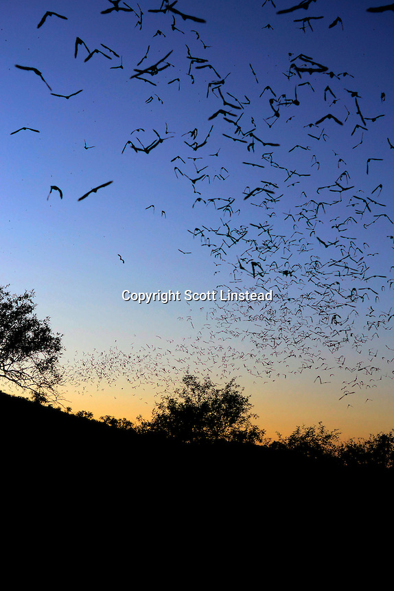 Mexican Free Tail bats exiting from a cave in Ruby, Arizona.
