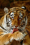 Bengal tiger, India (captive)