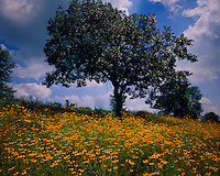 Prairie Blackeyed Susans & Red Oak Tree, Southwood Conservation Area, Iowa Loess Hills, Iowa