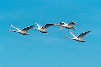 Mute swan (Cygnus olor), adults in flight, Flachsee, Aargau, Switzerland