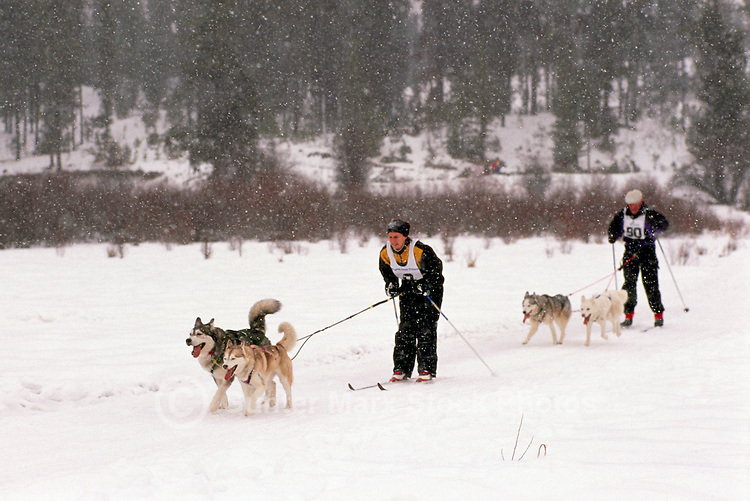 Woman and Man skijoring with Dogs in a Race Competition near Falkland, in the North Okanagan Region of British Columbia, Canada