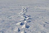single set of snowshoe track in snow