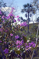 Tibouchina candolleana (Melastomataceae) with buriti palm (Mauritia flexuosa) in background, at fringe of forest gallery, Brazil Highlands (Brazilian shield, Planalto Brasileiro), Goias State, Brazil.