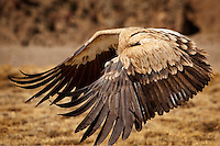 Perfection in design is exmplified in the wings of a large raptor in flight