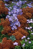 Sedum spectabile with Aster novae-angliae (New England Aster) & Ageratum in autumn garden planting combination in brown red, pink, lavender tones autumnal flowers