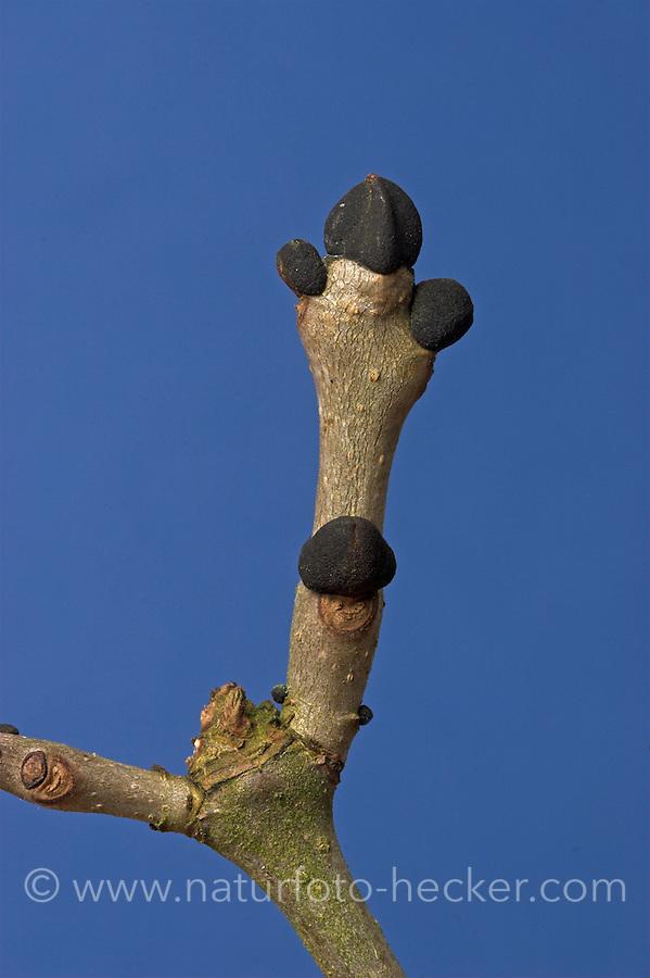 Gewöhnliche Esche, Knospen, Knospe, Fraxinus excelsior, Common Ash, Frêne commun