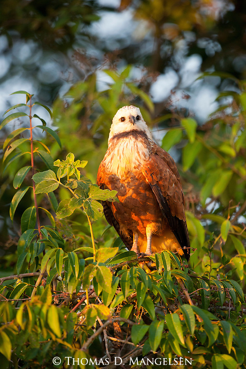 A black-collared hawk perches in a tree in the Pantanal, Mato Grosso, Brazil.