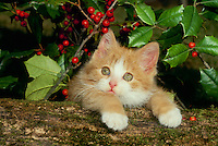 Help! I am sliding-- cute yellow kitten sliding off log into holly bush