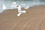 A Gull takes off from the main sand beach on Lake Nokomis